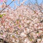 中目黒周辺、目黒川の桜終わる前に一目見たいと思って行ってきました!