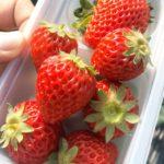 🍓成田ゆめ牧場でイチゴ狩り❤️
